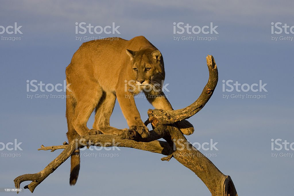 Cougar in a tree royalty-free stock photo