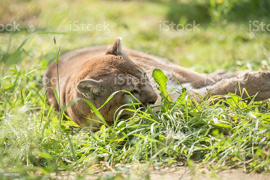 cougar into the fields stock photo