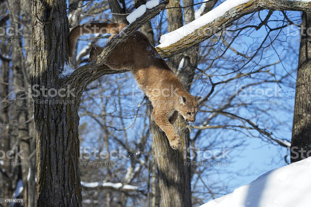 Cougar jumping down from tree. stock photo