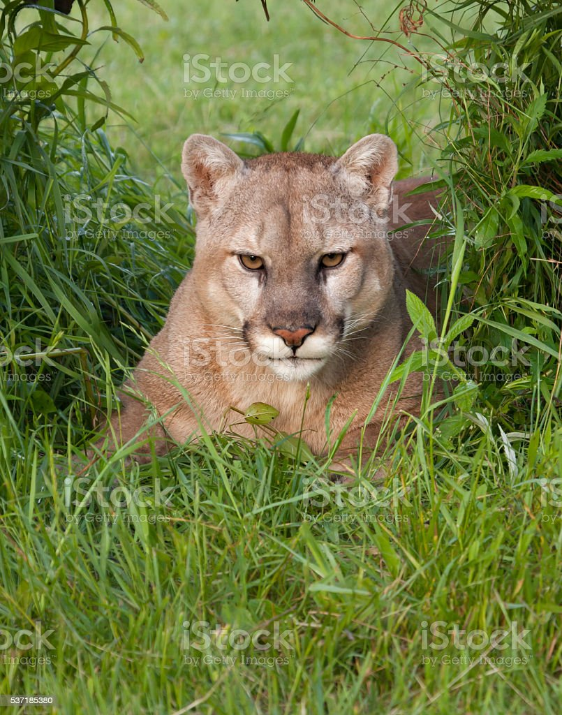 Cougar Laying in Tall Grass stock photo