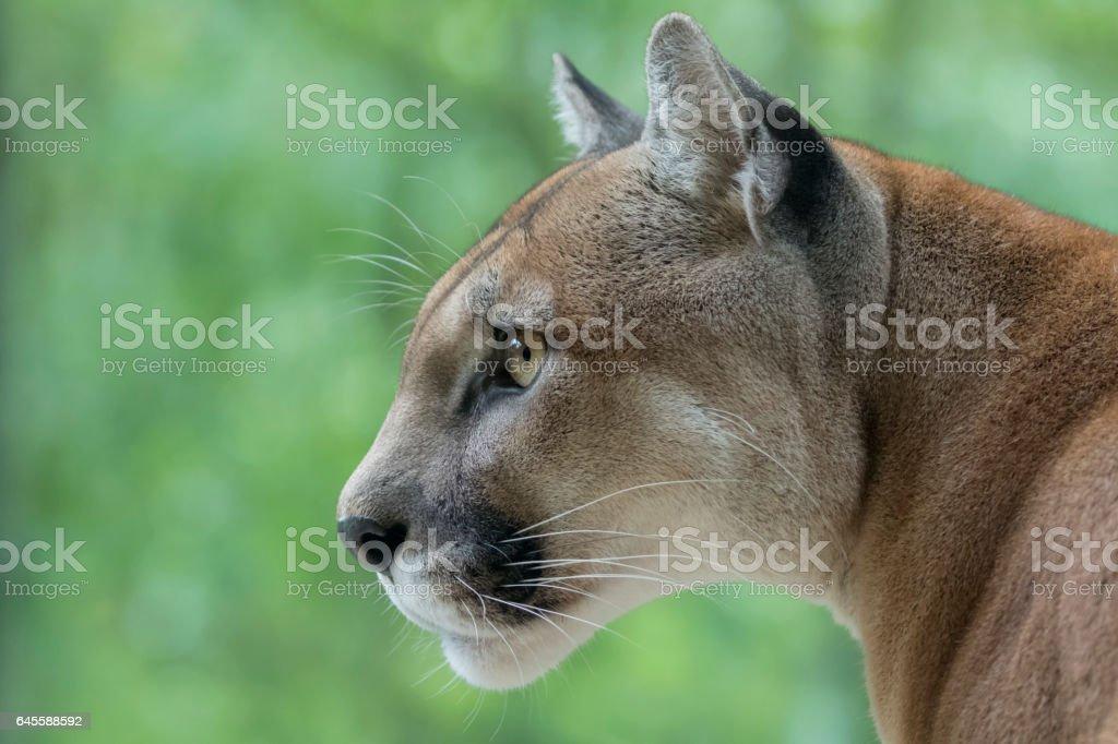 Cougar / Mountain Lion watching prey stock photo