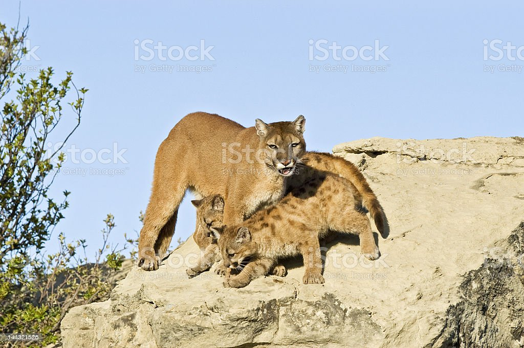 Cougar protecting her kits royalty-free stock photo