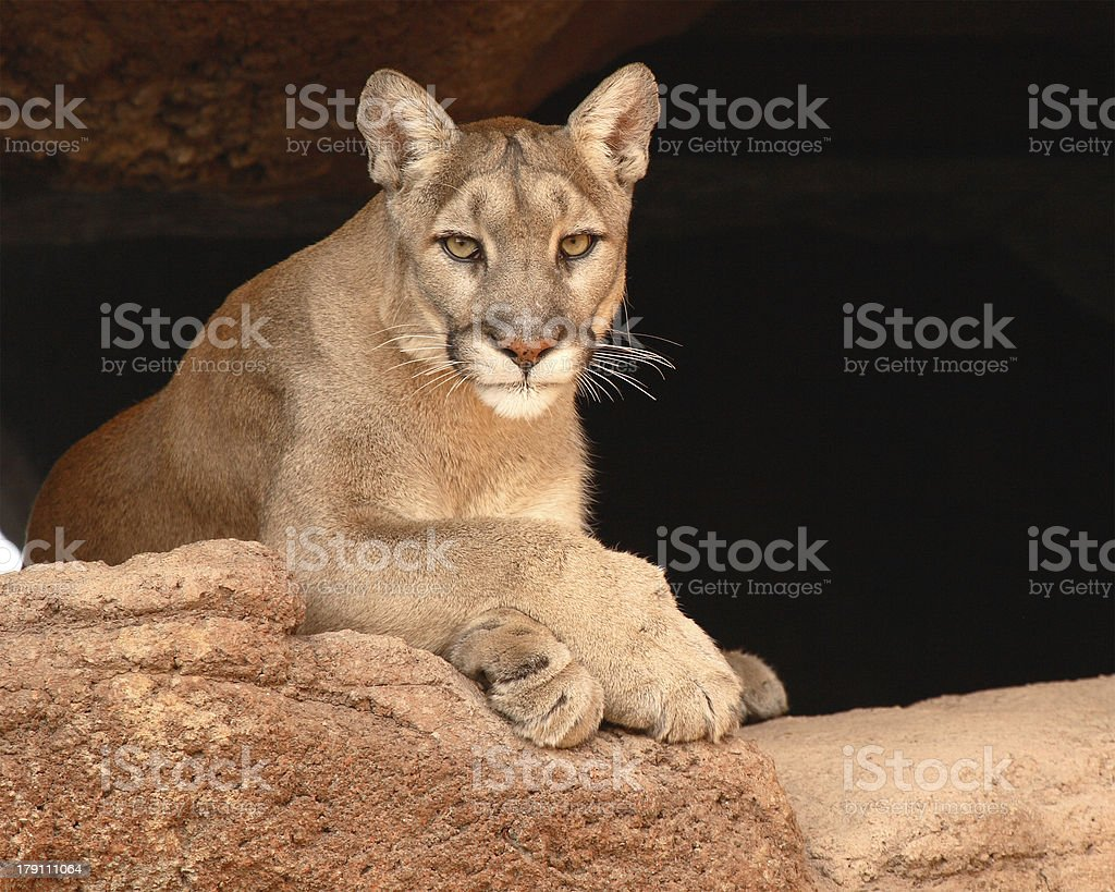 Cougar Resting On Rock stock photo