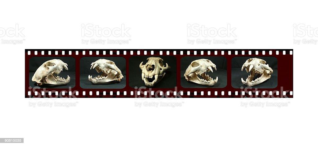 Cougar Skull Film Strip royalty-free stock photo