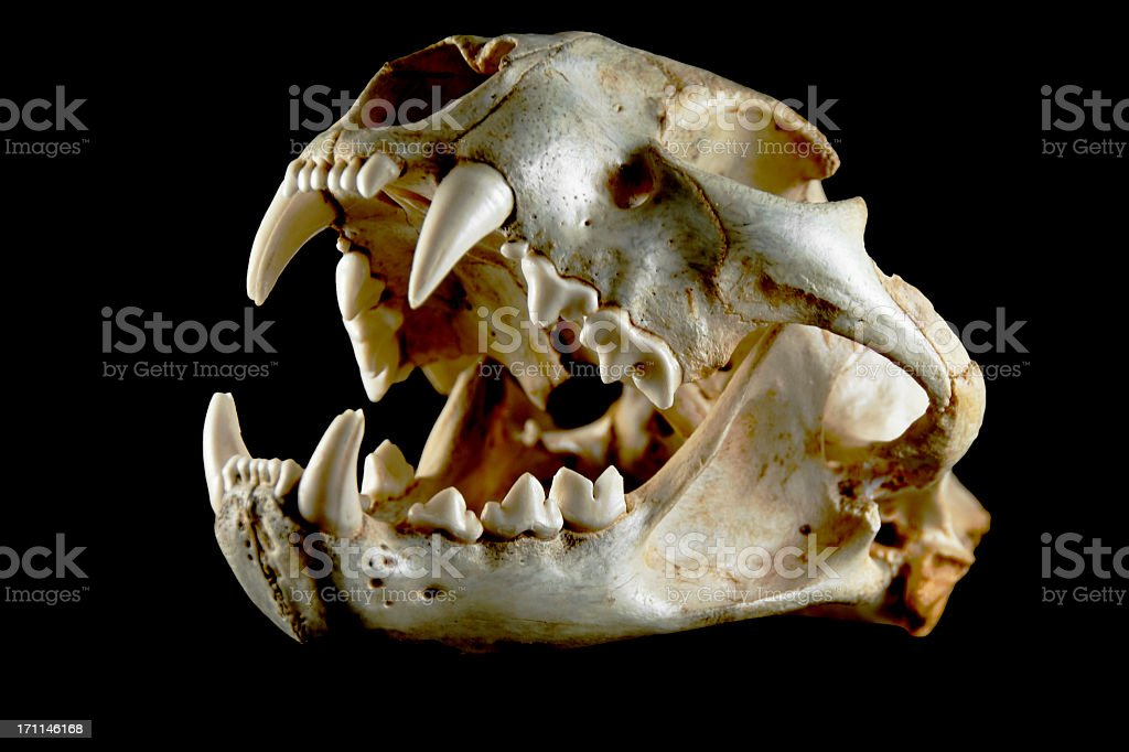 Cougar Skull.. Side View stock photo