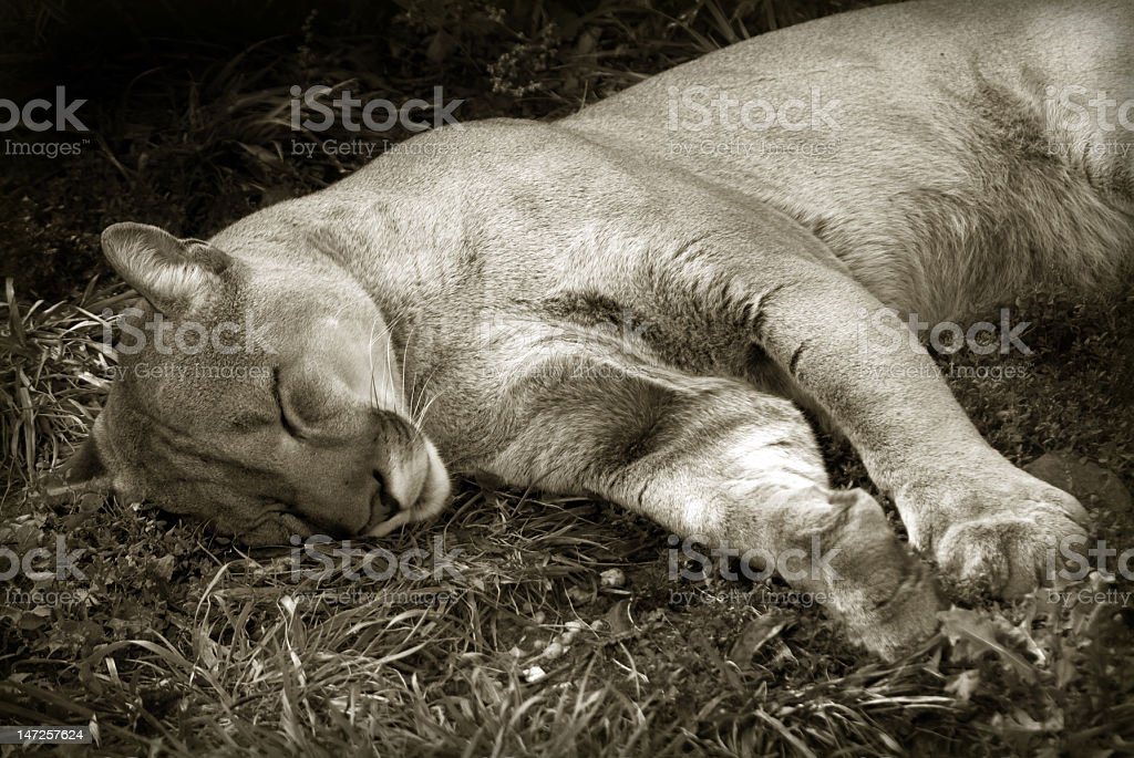 Cougar sleeping royalty-free stock photo