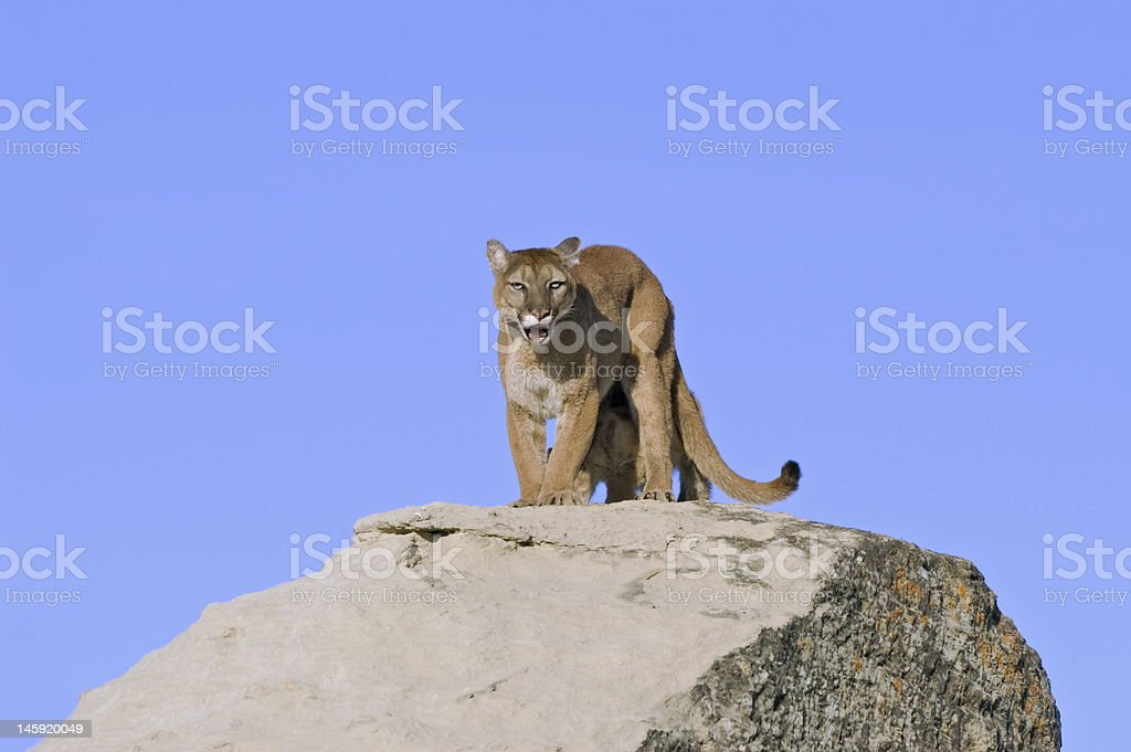 Cougar snarling at photographer as she protects her kit royalty-free stock photo