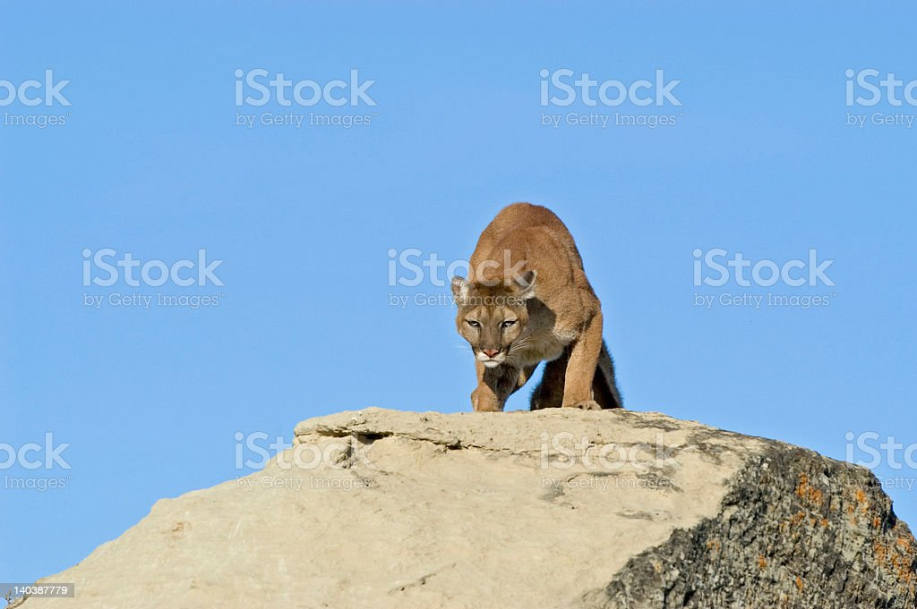 Cougar snarling royalty-free stock photo