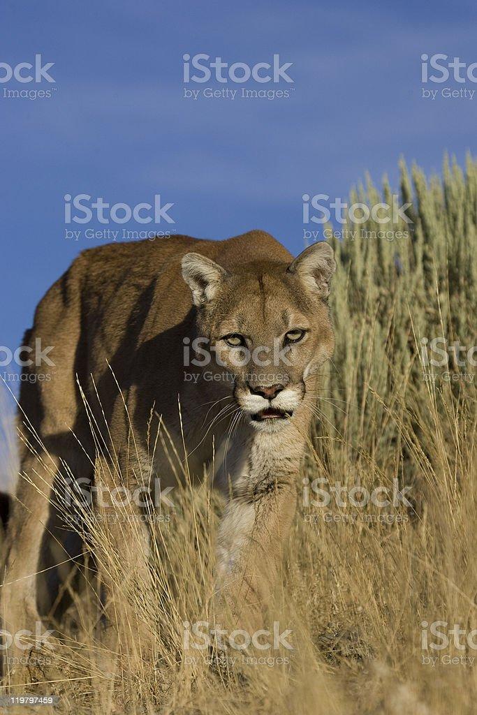 Cougar tiges au long de l'herbe photo libre de droits