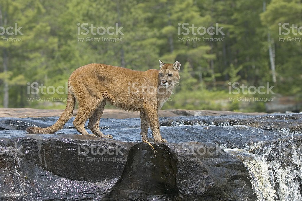 Cougar standing in river. royalty-free stock photo