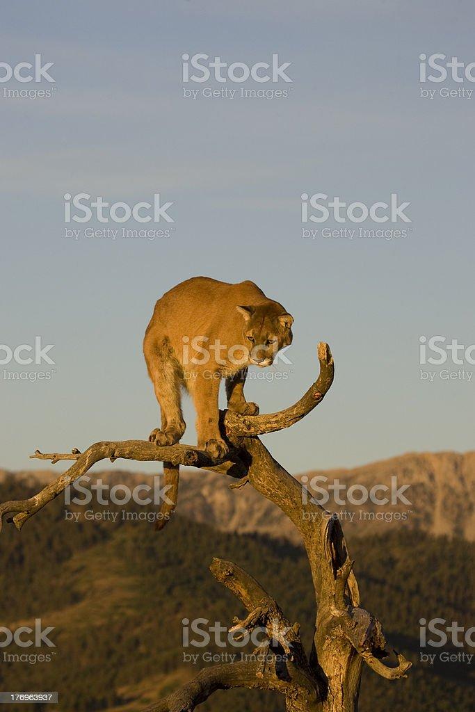 Cougar utilise arbre comme un bon point de vue photo libre de droits
