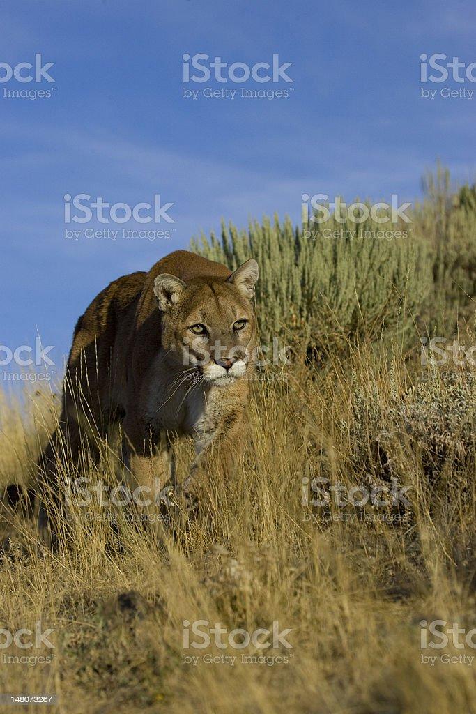 Cougar marchant le long de l'herbe photo libre de droits