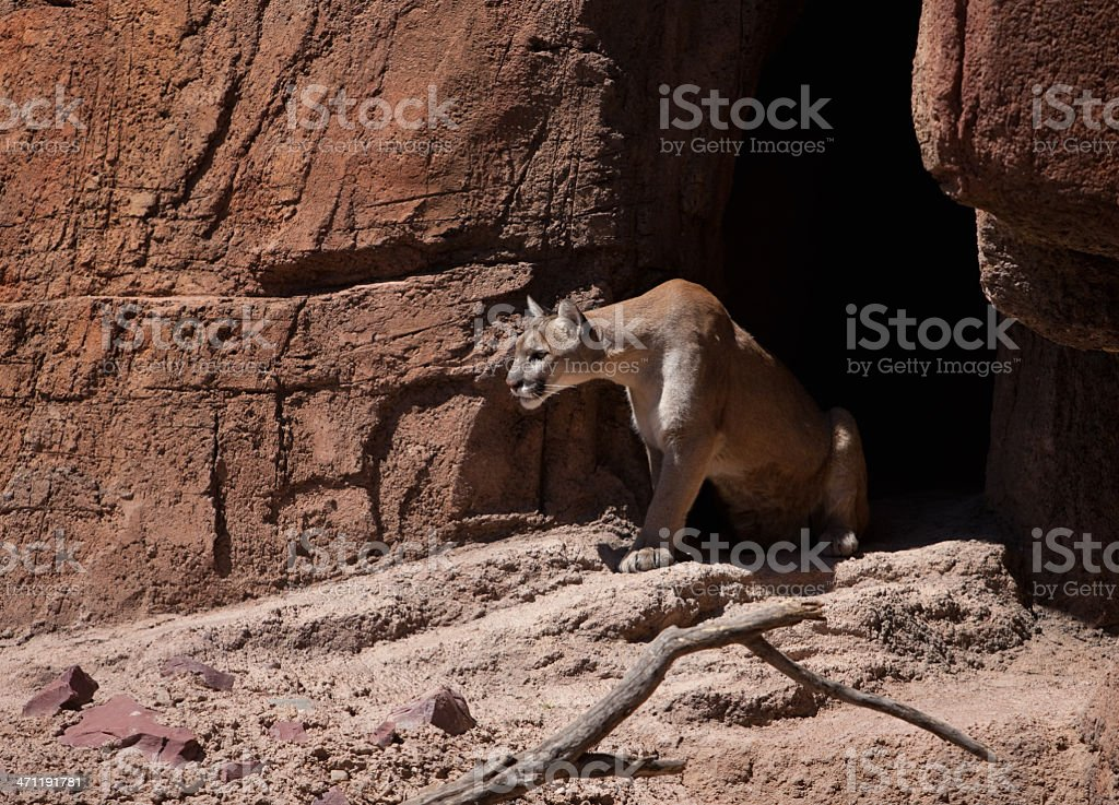 Cougar with an Intense stare stock photo