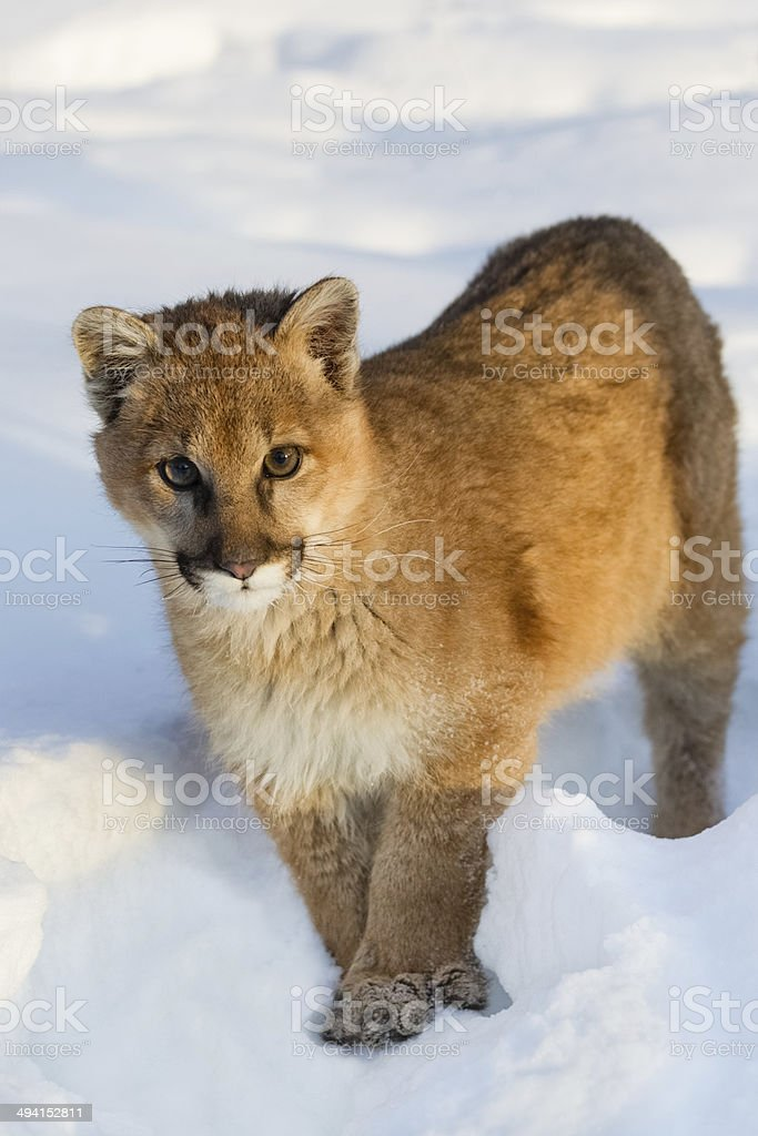 Couger Cub stock photo