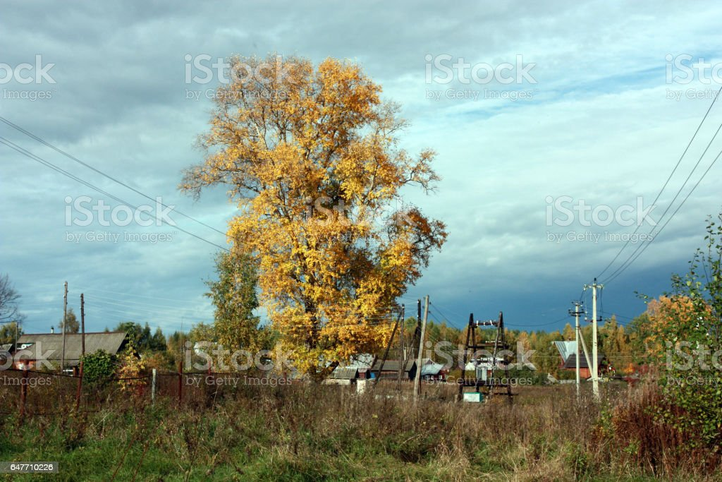 Country autumn landscape. The big tree with yellow leaves, blue sky with clouds stock photo