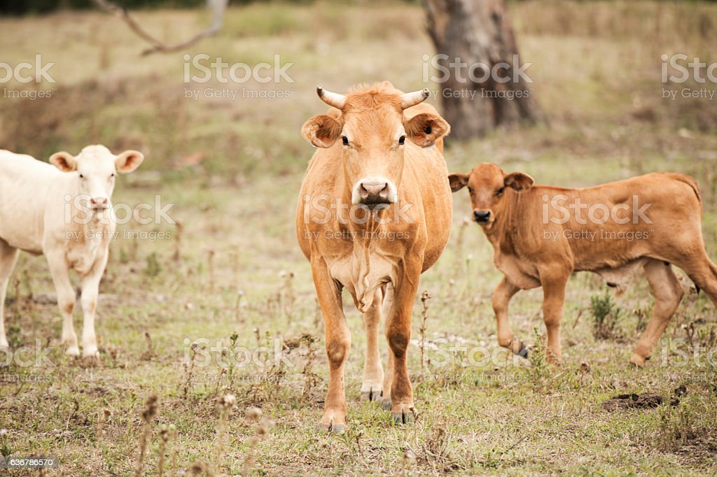 Country Cows stock photo