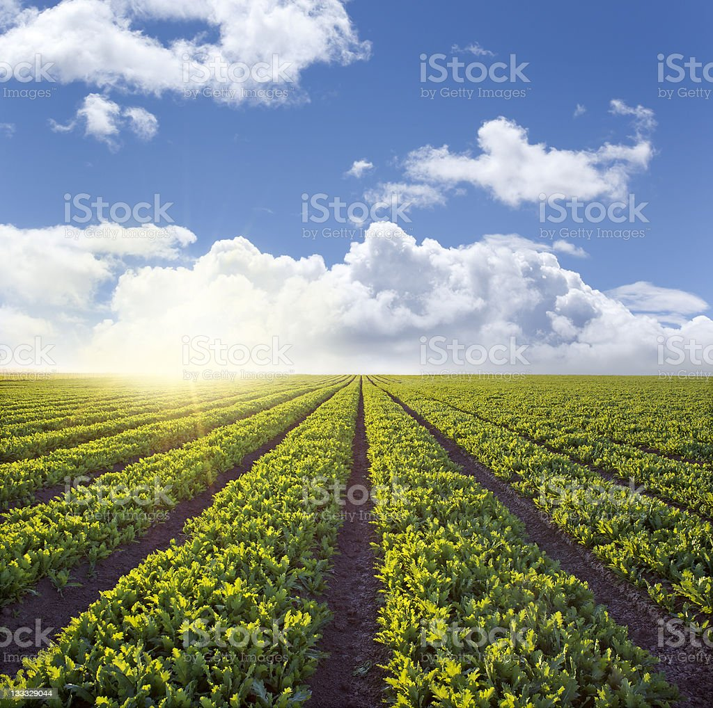 Country Field Sunset royalty-free stock photo