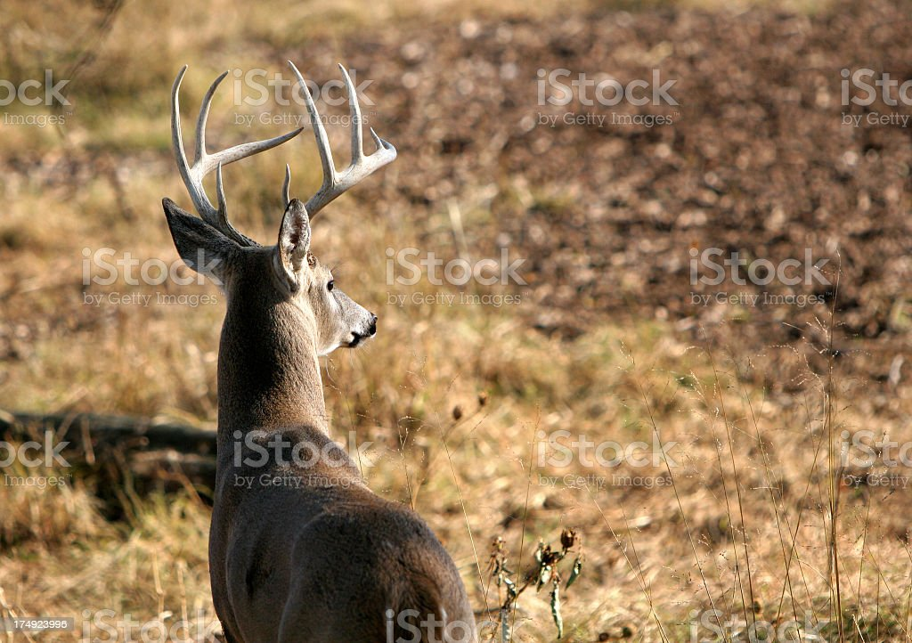 Country landscape with a Whitetail buck stock photo