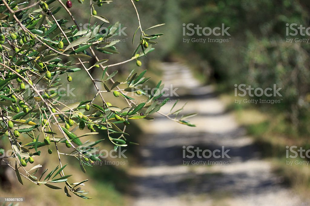 Country Path with Olives Trees royalty-free stock photo