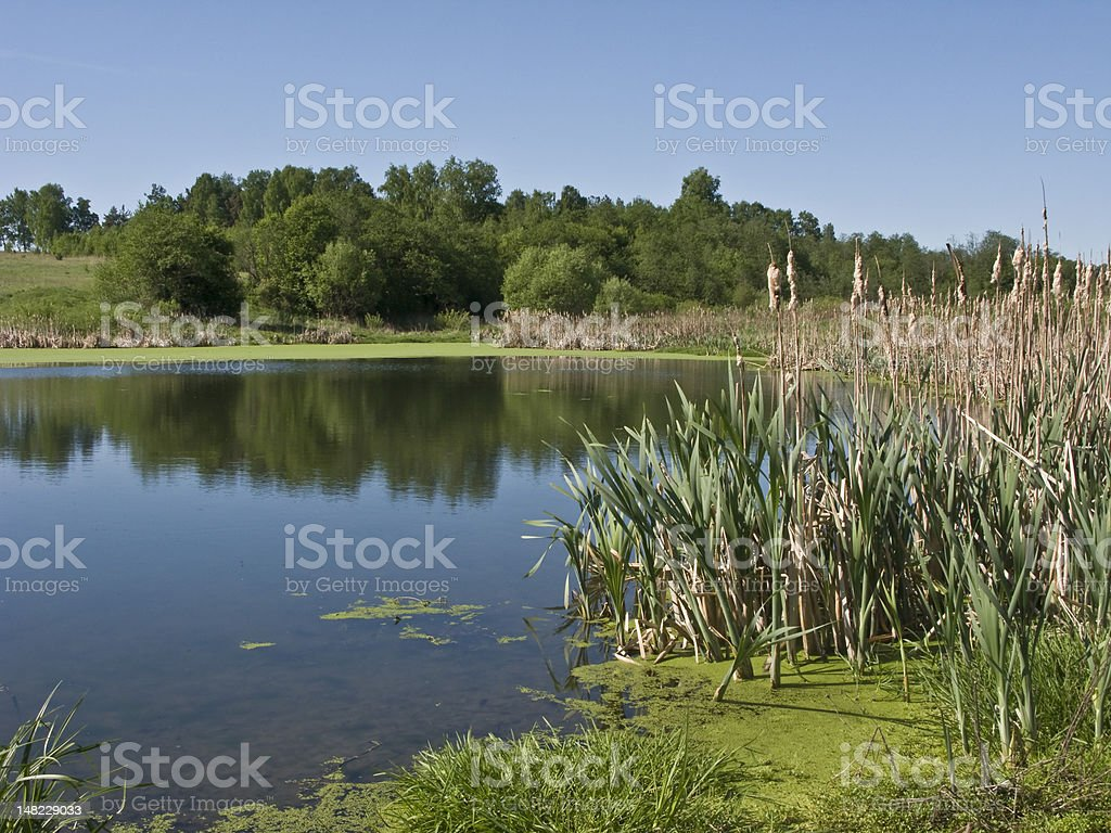 Country pond with reed stock photo