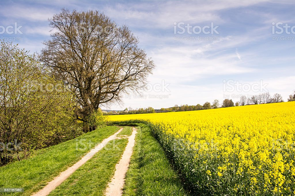 Country road along a yellow rape field stock photo