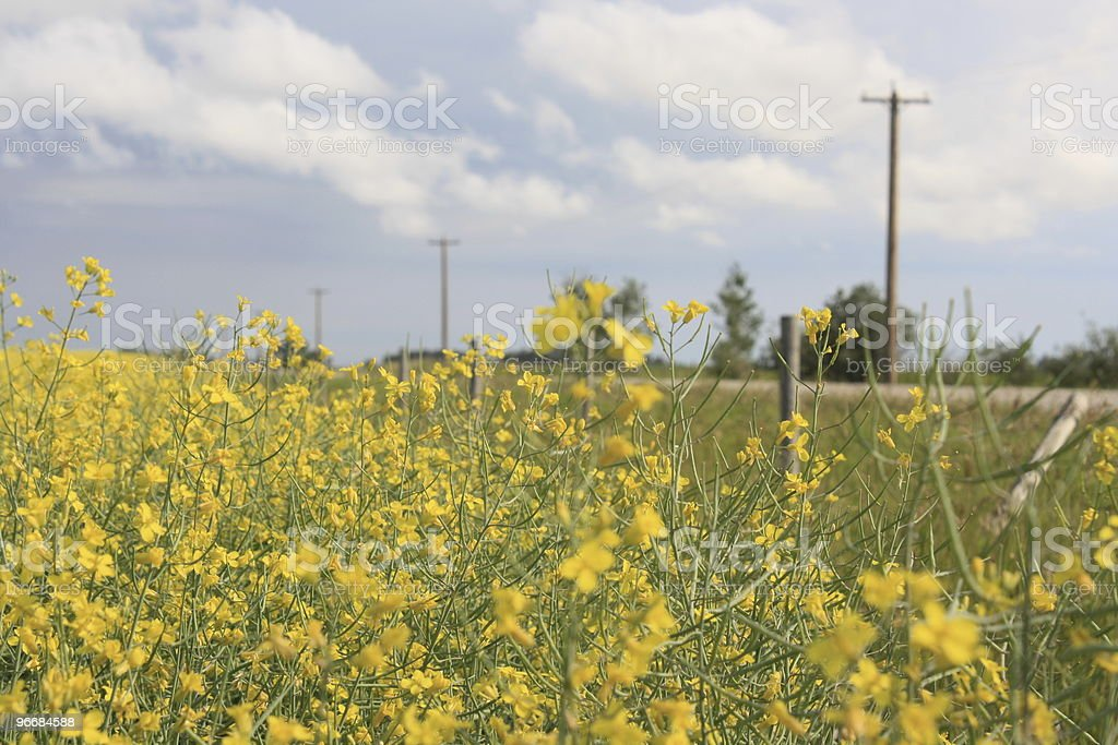 Country road along yellow canola field royalty-free stock photo