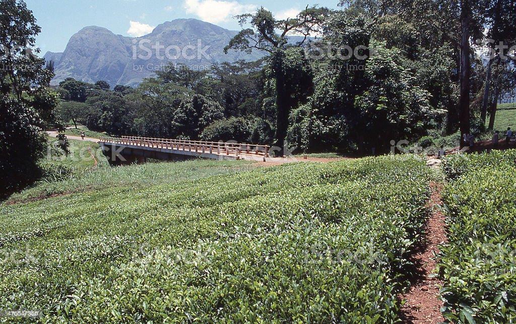 Country Road tea plantations Mulanje Massif Malawi Southern Africa stock photo