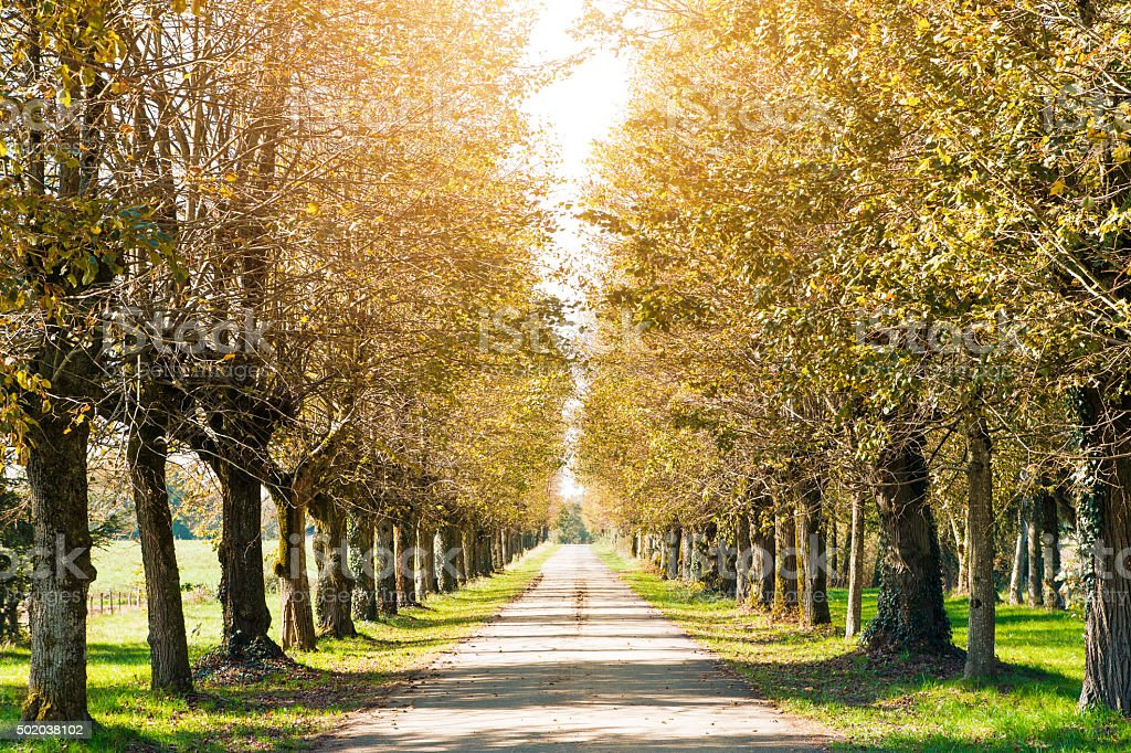 Country road tree lined perspective in autumn with bright sunlight stock photo