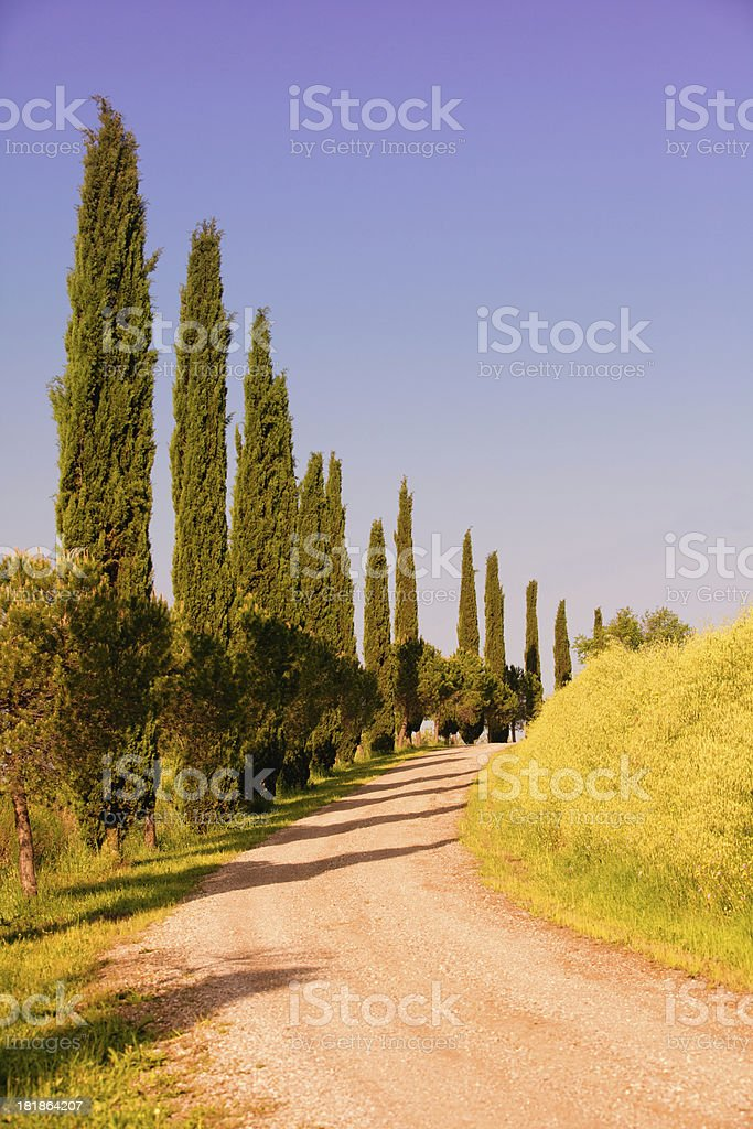country road with cypress trees at sunrise royalty-free stock photo
