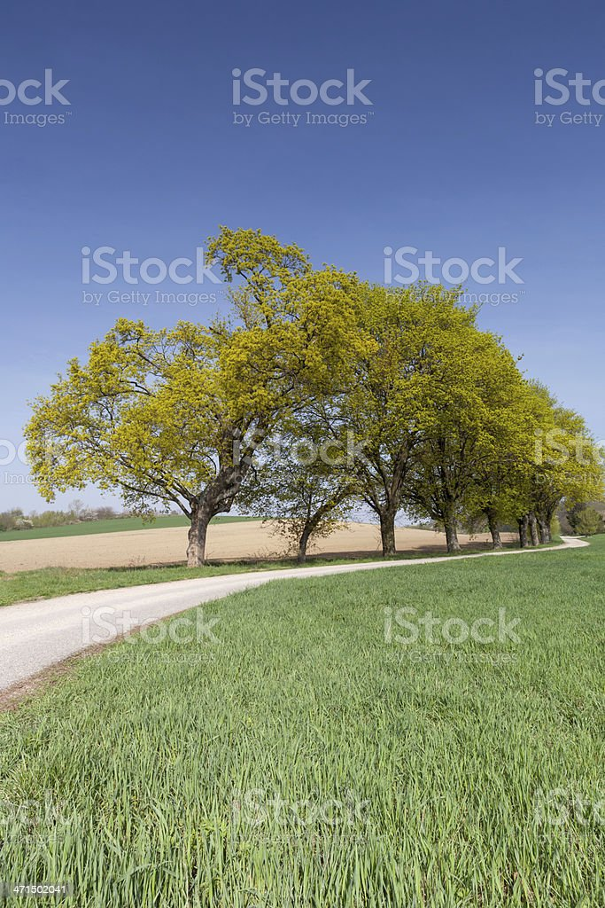 Country road with green avenue royalty-free stock photo