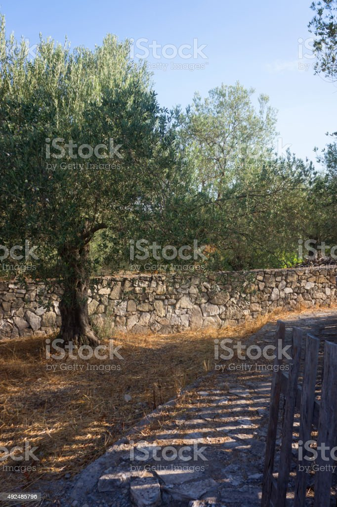 Country road with olive trees stock photo