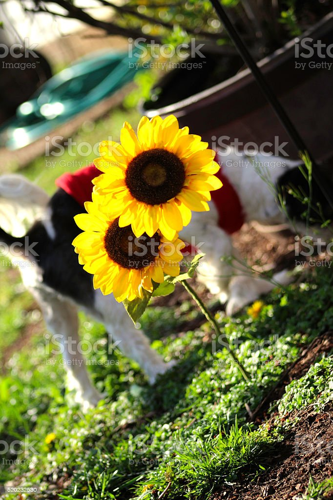 Country Sunflower royalty-free stock photo