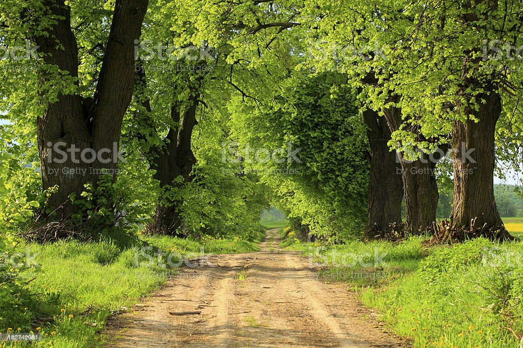 Country Tree Alley royalty-free stock photo