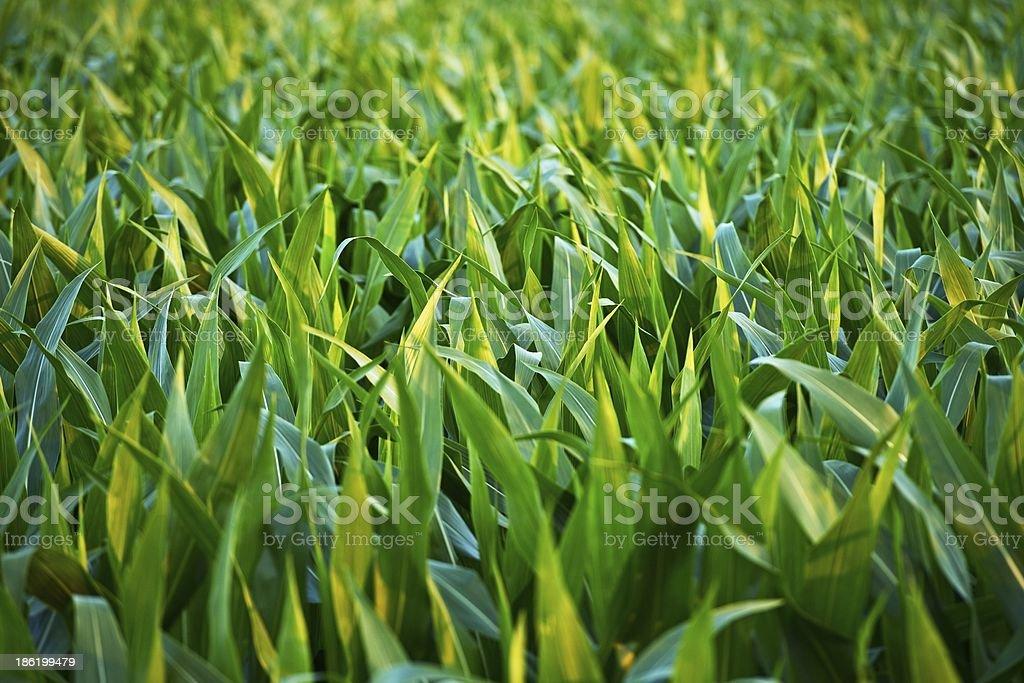 Countryside Corn Fields royalty-free stock photo