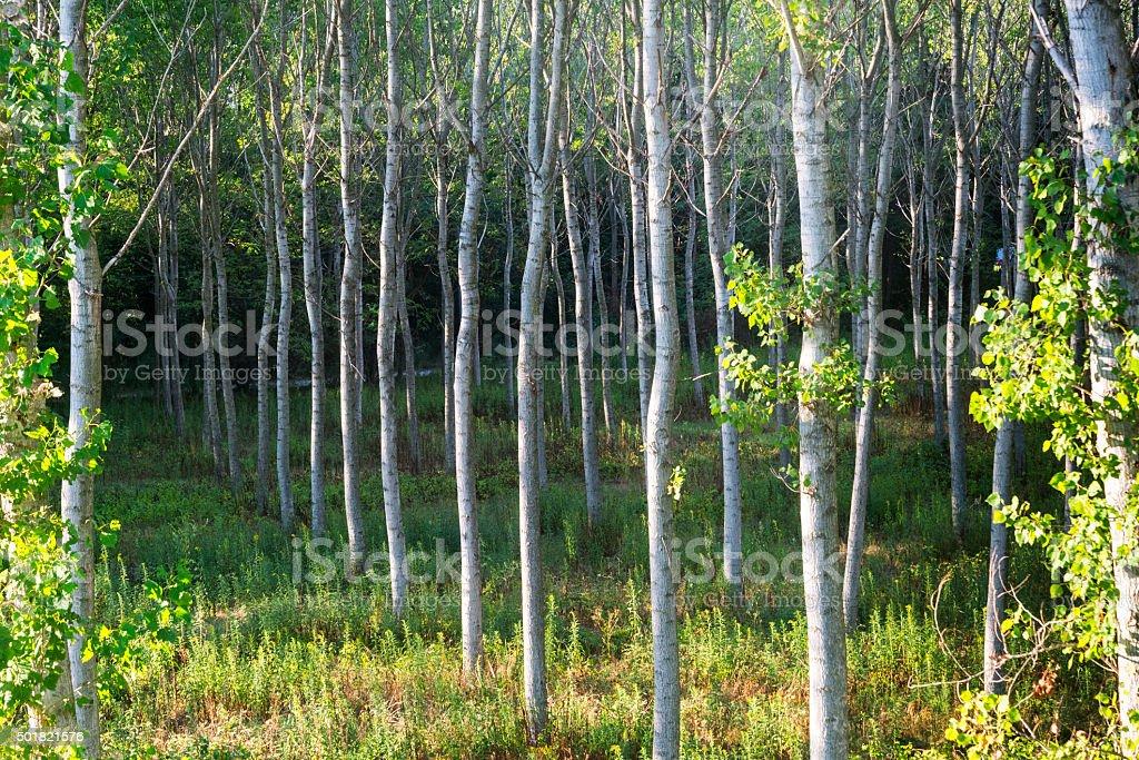 Countryside of Pavia (Italy): poplars stock photo