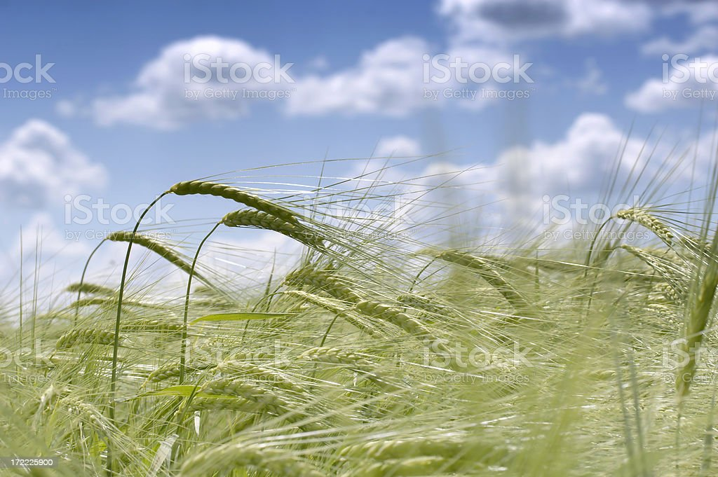 Countryside Wheat field and blue sky with white clouds royalty-free stock photo