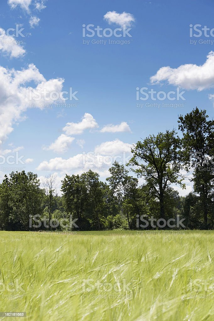 Countryside Wheat field and blue sky with white clouds stock photo