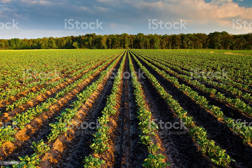 Countryside with potato field royalty-free stock photo