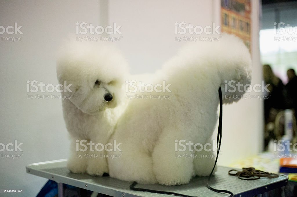 Couple bichon frise on grooming table on exhibition wating stock photo
