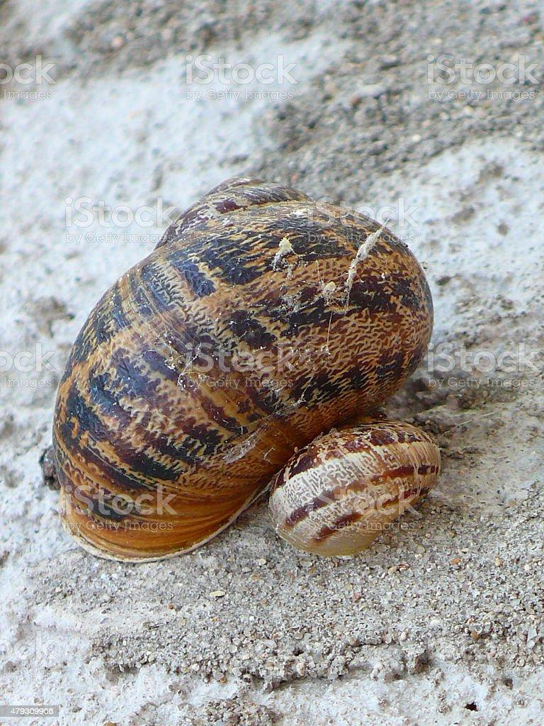 couple brown garden snails(Helix aspersa aspersa) stock photo