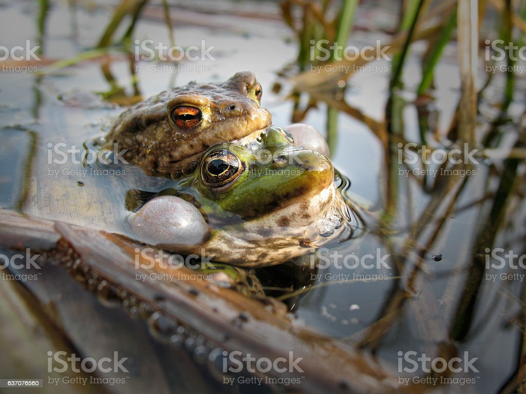 Couple frogs spawning sing stock photo