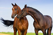 Couple horse in love