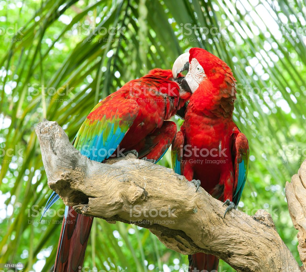 couple macaw royalty-free stock photo