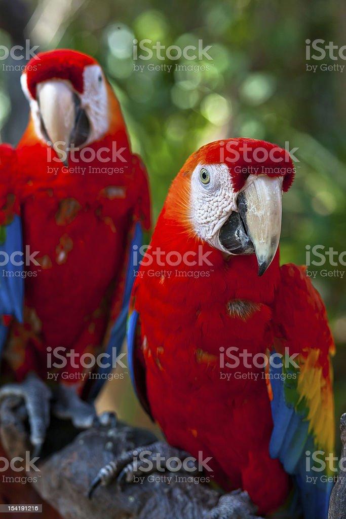 Couple macaws royalty-free stock photo