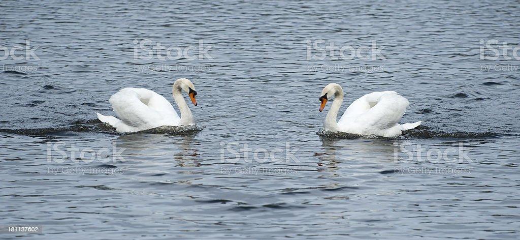 Couple mute swan [ Cygnus olor ] on a lake stock photo
