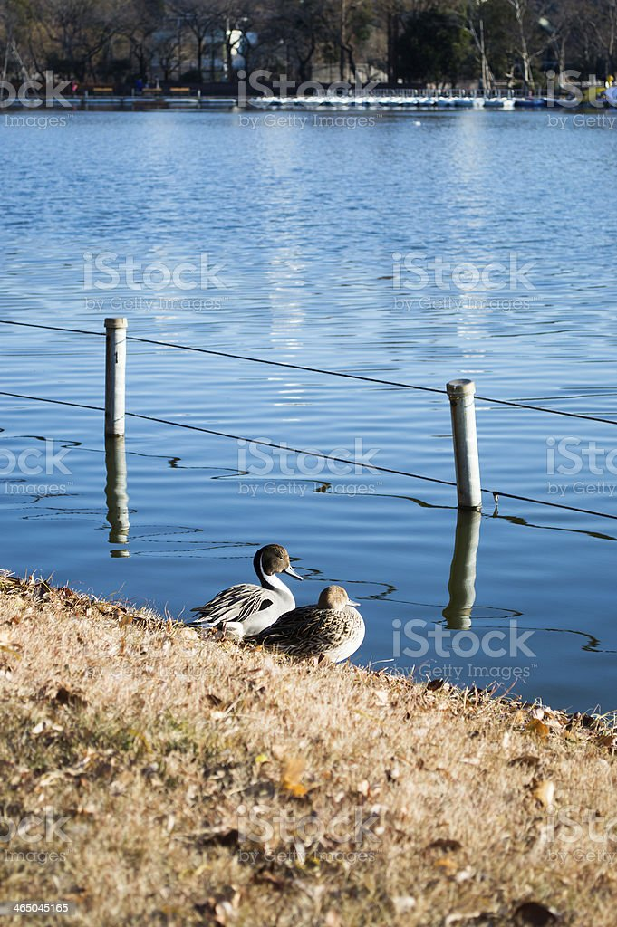 couple of a duck. ??????? stock photo