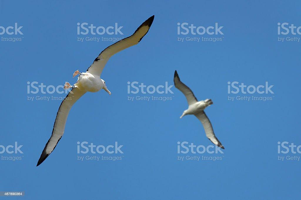 Couple of albatrosses in the sky, New Zealand stock photo