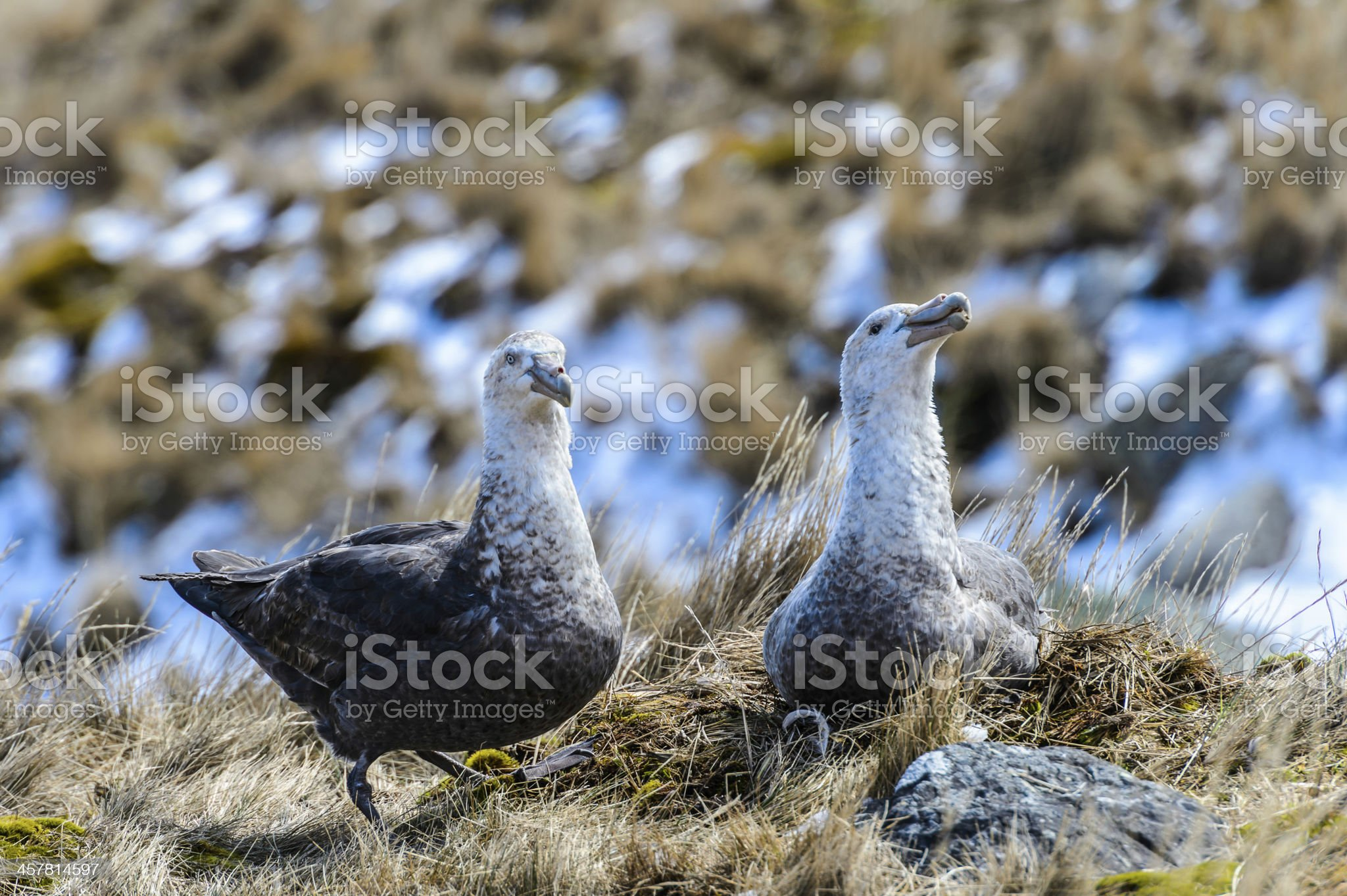 Couple of albatrosses in their nest royalty-free stock photo