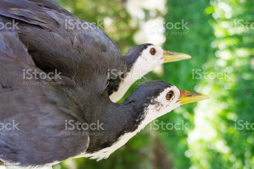 Couple of amaurornis phoenicurus stock photo