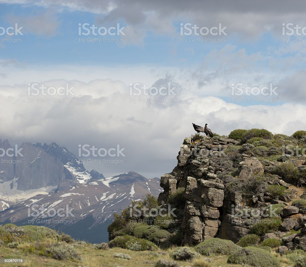 Couple of  Andean Condor in Torres del Paine National Park stock photo